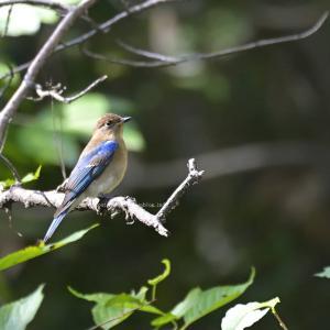 鳴禽類ブルー様のお渡りでございます