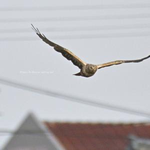 住宅街を背景に絶滅危惧種が飛ぶ