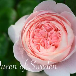 バラ クイーン オブ スウェーデン