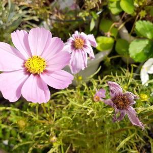 【今日の庭】咲き終わったコスモス🌺の花柄摘み