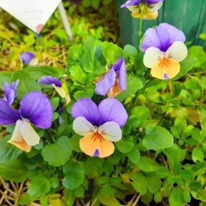 花が咲き終わった早めに花がらを摘む2つ理由と花によって異なる方法