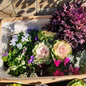 【今日の庭】11/17 待っていた葉牡丹を購入!椿に蕾を発見!!
