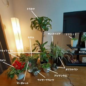 【よもやま話】我が家の観葉植物たち・寒さ対策が遅れると
