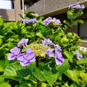紫陽花が咲き始めました!