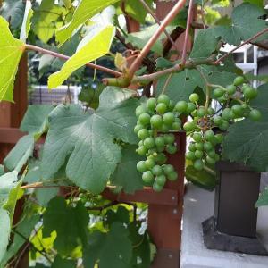 ブルーベリーにブドウ、野イチゴ、順調に育ってます!