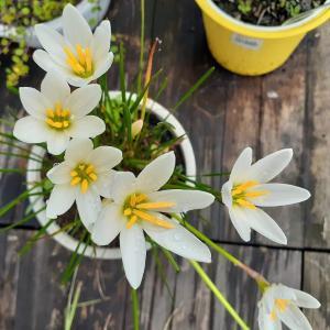 ゼフィランサスとミセバヤの花が咲いたよ💕