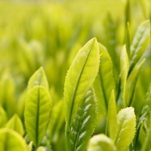 美味しいお茶でリラックスしませんか?🍵〜世界農業遺産🌿静岡の茶草場農法のお茶はいかが?🌟
