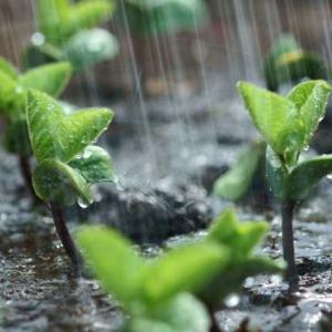 秋の仕事が初夏に Blessed Rain 恵みの雨
