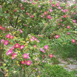 未だ咲きぬ薔薇 Rosengarten 身近な薔薇の園
