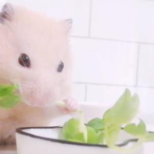ハムスターに野菜を与える必要はあるの?頻度や量は?