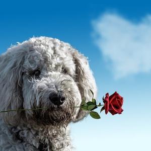 【女性は祝われる側!】日本と違うオーストラリアのバレンタインデーの過ごし方