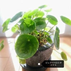【観葉植物】探すと中々見つからないペペとポポ【おうちで森林浴】
