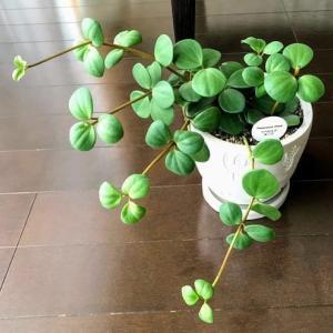 【観葉植物】ペペロミアの世界へ足を踏み入れる