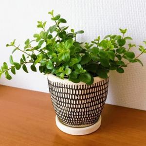 ペペロミアは育てやすい!?わが家の元気な植物たち