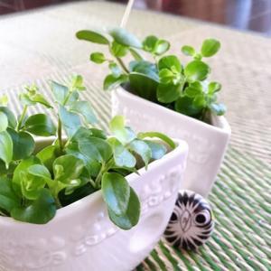 ペペロミアに根が生えた!成長を続ける切り葉たち
