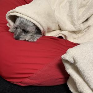 我が家の愛犬と毛布の相性