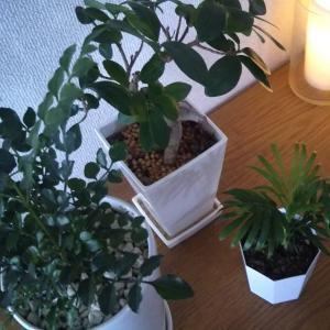 新しい観葉植物を迎えました
