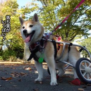 車椅子の柴犬あんと秋の公園散歩♪の動画