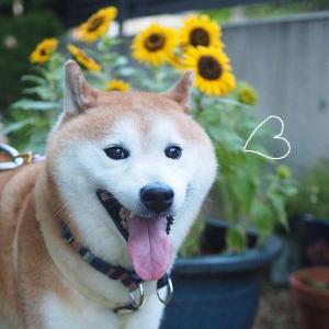 ウチの向日葵
