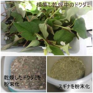 これは効く、スギナ茶とドクダミ茶で健康回復作戦。