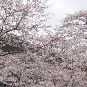 桜強化週間の年度末。春を迎えに、ちょっと近畿の下側まで。②