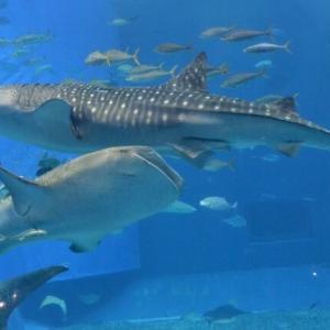 美ら海水族館を英語で説明|世界最大規模の水族館を5つの例文で紹介