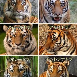 【けもフレ3】色々な種類のトラ(リアル)を見てみようなのだ