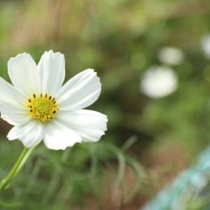 あなたも世界に一つだけの花