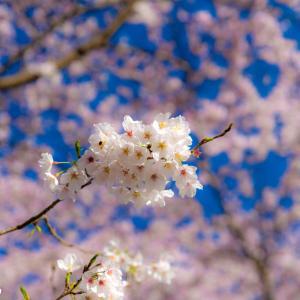 福岡の桜開花2021