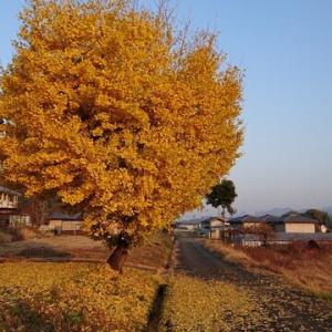 11/18(2ページ目)大きな、大きな銀杏の木