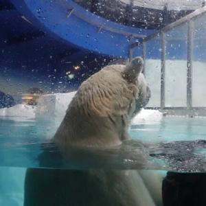 2020-11/21(土)  アドベンチャーワールド 北極熊のライト君7歳