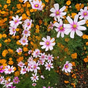 里山の秋花🎵蒼いノクターン🎵ポール。モーリア