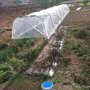 トマト雨避けの整理2020.12.12