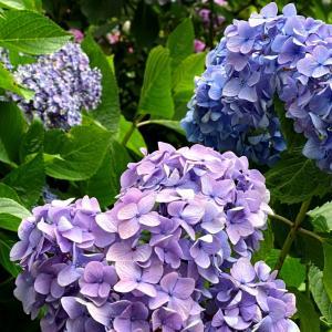 あじさい寺(本土寺)までゆるポタ…紫陽花と花菖蒲を見てきた!