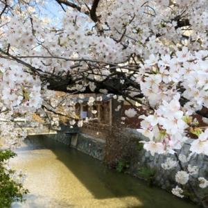 【京都桜情報】京都らしい風景が楽しめる祇園白川の桜-見頃やアクセス情報について