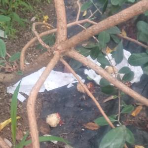 蚊取り線香で果樹の獣害対策