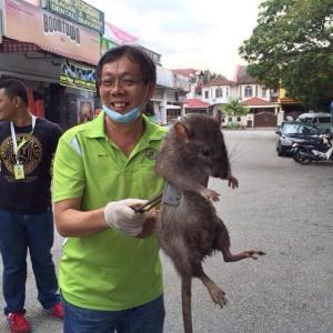 【画像】フィリピンのネズミがデカすぎるwwwwwwwwwwwwwwwwwww