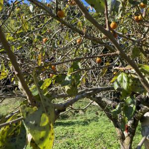 実家の裏山の柿の木に子猿が2匹現る!