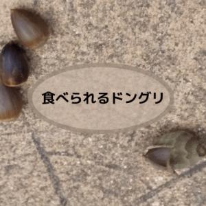 食べられるドングリ