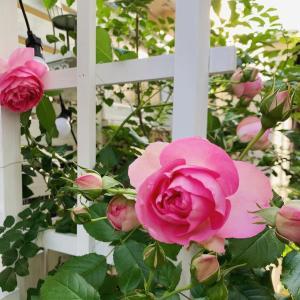 お庭の花達