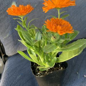 こんもりと美しく咲く、カレンジュラ エミフル 半八重咲きでこんもりとドーム状にふくらむ 四季咲き性の強い花なので購入