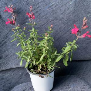 小さなエプロン チェリーセージ ピナフォア 長い期間花を楽しむことができるので購入!