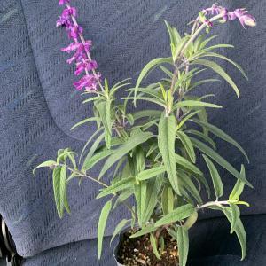 アメジストセージ レウカンサ 宿根草 の苗を購入