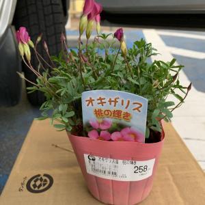 オキザリス 桃の輝き 苗を購入