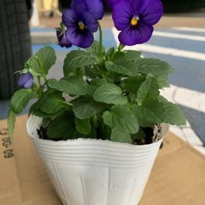 冬から春に定番のビオラの苗を購入