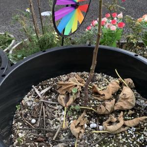 秋の霜が降りる時期、イチジクの葉が枯れて全部落ちてしまった、なぜ?