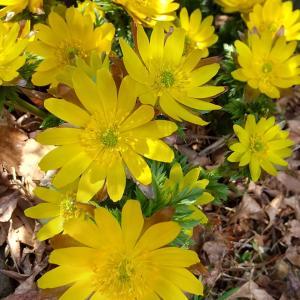 黄色の春招き 楽式~tanosiki~
