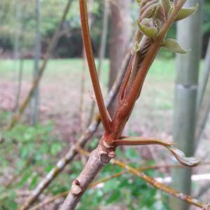 家の裏の竹林に『ウコギ科の三王家』が生えてた!タラの芽、ハリギリ、コシアブラ。え……山漆!!??