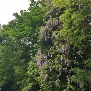今が見頃 藤の紫