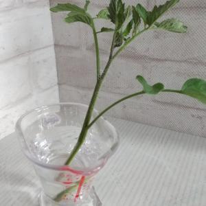 脇芽から増やすミニトマト